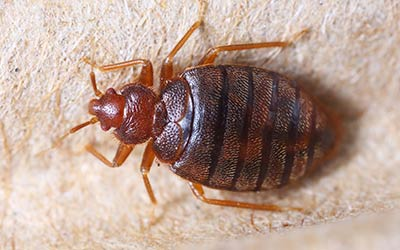 When to call a bed bug exterminator in Snohomish WA - Western Exterminator, formerly Pratt Pest.