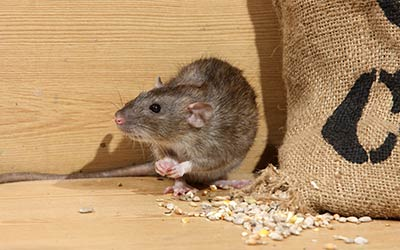 Rodent, rat and mice exterminator and pest control in Everett WA and Mount Vernon WA - Western Exterminator, formerly Pratt Pest